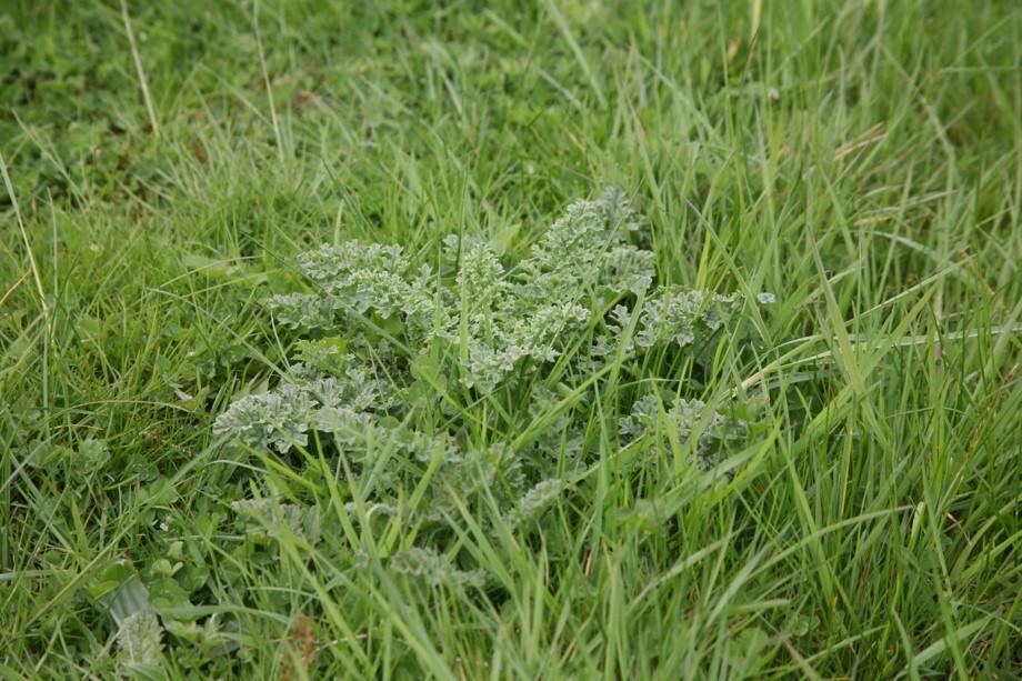 Chemical Control of Ragwort in Grassland